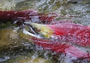 osca salmon