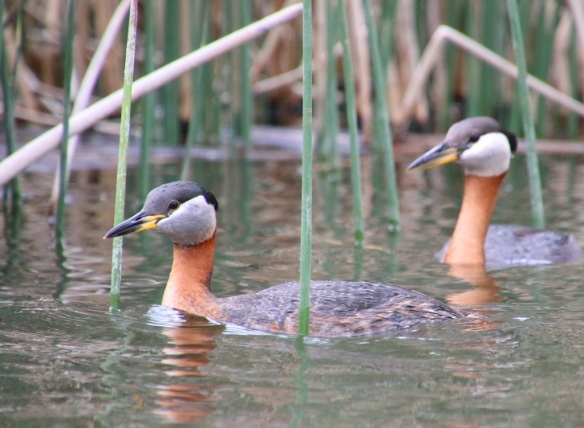 15 Red Necked Grebes 3 Lake Osoyoos May 12