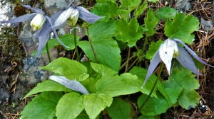 Blue Clematis, Clematis occidentalis